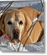 Snow Lab Metal Print