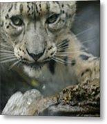 Snow Leopard 11 Metal Print