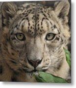 Snow Leopard 13 Metal Print