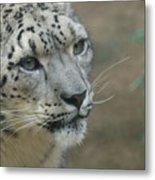 Snow Leopard 8 Metal Print