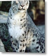 Snow Leopard Uncia Uncia Portrait Metal Print