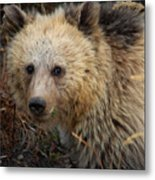 Snow The Grizzly Metal Print