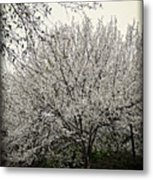 Snow White Flowering Tree Metal Print