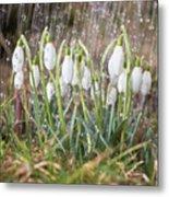 Snowdrops In The Garden Of Spring Rain 1 Metal Print