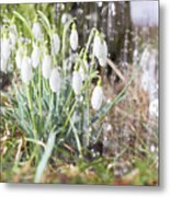 Snowdrops In The Garden Of Spring Rain 7 Metal Print