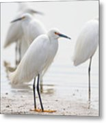 Snowy Egret And Friends Metal Print