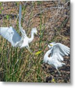 Snowy Egret Confrontation 8664-022018-1cr Metal Print