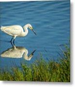 Snowy Egret Feeding  Metal Print