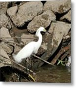Snowy Egret Fishing Metal Print