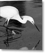 Snowy Egret Fishing Metal Print