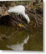 Snowy Egret Fishing From Branches Metal Print