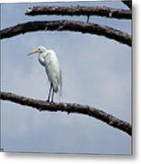 Snowy Egret In Plume Metal Print