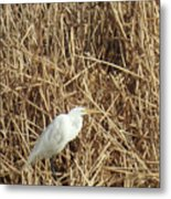 Snowy Egret In Tall Grasses Metal Print