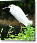 Snowy Egret In The Everglades Metal Print