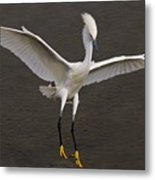 Snowy Egret Landing Metal Print