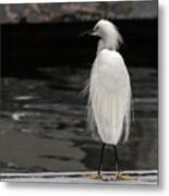 Snowy Egret Looking For Next Meal Metal Print