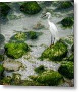 Snowy Egret On Mossy Rocks Metal Print