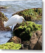 Snowy Egret  Series 2  1 Of 3  The Catch Metal Print