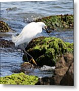 Snowy Egret  Series 2  2 Of 3  Preparing Metal Print