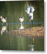 Snowy Egret Stretch 4280-080917-2cr Metal Print