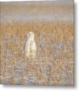 Snowy Owl 2016-4 Metal Print