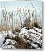 Snowy Owl In Dunes #2 Metal Print