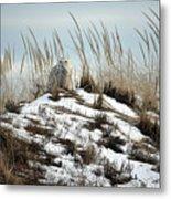 Snowy Owl In The Dunes Metal Print