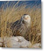 Snowy Owls On The Beach Metal Print
