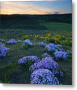 Snowy Phlox Sunset Metal Print