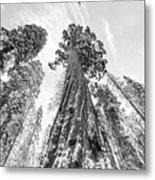 Snowy Sequoias At Calaveras Big Tree State Park Black And White 6 Metal Print