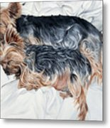 Snuggling Yorkies Metal Print
