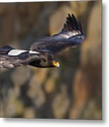 Soaring Black Eagle Metal Print