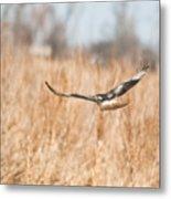 Soaring Hawk Over Field Metal Print by Douglas Barnett