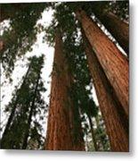 Soaring Sequoias Metal Print