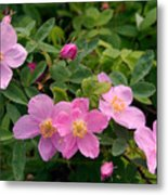 Soft Light On Nookta Rose Rosa Nutkana Metal Print by Ralph Lee Hopkins