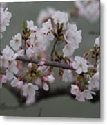 Soft Pink Blossoms Metal Print