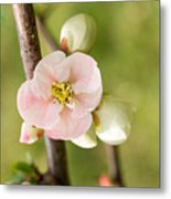 Pink Quince Blossom Metal Print