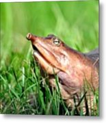 Soft Shell Turtle  Metal Print