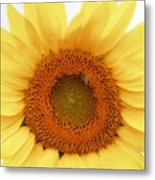 Soft Sunflower Metal Print