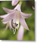 Softened Hosta Bloom Nature Photograph  Metal Print