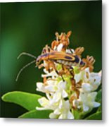 Soldier Beetle Metal Print