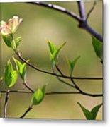 Solitary Dogwood Bloom Metal Print
