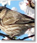 Song Sparrow Dining Out Metal Print