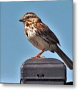 Song Sparrow Profile         Summer      Indiana Metal Print
