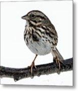 Song Sparrow Profile Metal Print