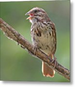 Song Sparrow Song Metal Print