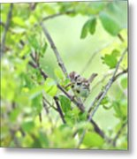 Song Sparrow With Dinner Metal Print