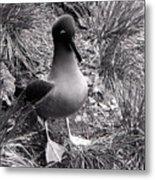 Sooty Albatross On A South Georgia Cliffside Metal Print