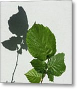 Sophisticated Shadows - Glossy Hazelnut Leaves On White Stucco - Vertical View Upwards Left Metal Print