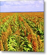 Sorghum Plants Fields In Botswana Metal Print